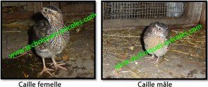 Vertus et bienfaits des œufs de cailles