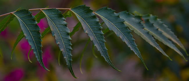 Feuille de neem ou quinine ou margousier