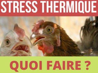 Quoi faire quand vos poulets subissent le stress thermique